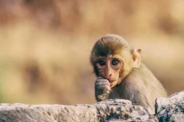 疫情之下实验猴遭疯抢全球一猴难求还要持续多久